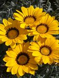Gele mooie aardbloemen Royalty-vrije Stock Afbeelding