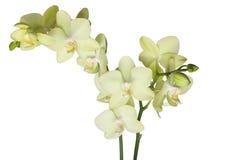 Gele mooie orchidee Royalty-vrije Stock Afbeelding