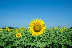Gele Mooie zonnebloemen Royalty-vrije Stock Fotografie