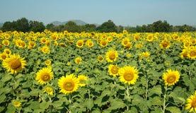 Gele Mooie zonnebloemen, scherp op centrum Stock Fotografie