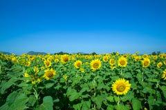 Gele Mooie zonnebloemen, scherp op centrum Royalty-vrije Stock Afbeeldingen