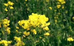 Gele mosterdbloemen op het gebied stock foto