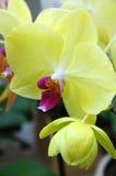 Gele mottenorchidee Stock Foto's