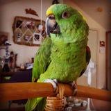 Gele Naped Amazonië stock foto