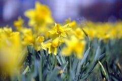 Gele narcis royalty-vrije stock afbeeldingen