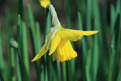 Gele narcis Stock Afbeeldingen