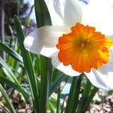 Gele narcis Royalty-vrije Stock Afbeelding