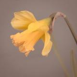 Gele narcis royalty-vrije stock foto's