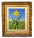 Gele narcis in antiek gouden frame Stock Afbeeldingen