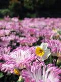 Gele narcis in de chrysant Stock Afbeeldingen