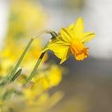 Gele narcis in de lentelicht Royalty-vrije Stock Afbeelding