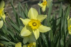 Gele gele narcis royalty-vrije stock fotografie