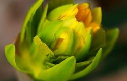 Gele narcis in de vroege lente Royalty-vrije Stock Foto