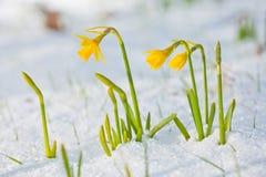 Gele narcis die door de sneeuw bloeit Stock Fotografie