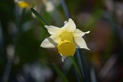 Gele narcis in een bos Royalty-vrije Stock Foto's