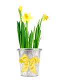 Gele narcis in een pot Stock Afbeeldingen