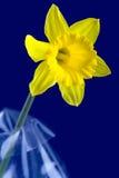 Gele narcis en blauwe achtergrond royalty-vrije stock fotografie