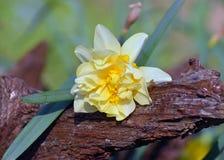 Gele narcis en hout Stock Afbeeldingen