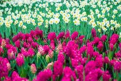 Gele narcis en Hyacintbloemen royalty-vrije stock foto's