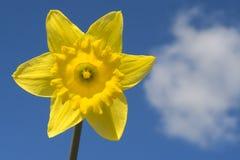 Gele narcis en Wolk Royalty-vrije Stock Afbeelding
