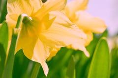 Gele narcis gele bloem die in de heldere zonneschijn bloeien Royalty-vrije Stock Fotografie