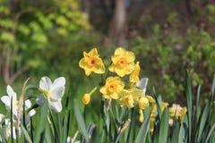 Gele narcis het bloeien Royalty-vrije Stock Fotografie