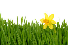 Gele narcis in het groene gras Stock Fotografie