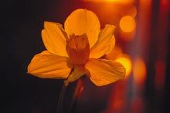 Gele narcis in het zonlicht stock afbeeldingen