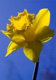 Gele narcis, met weg Royalty-vrije Stock Afbeelding