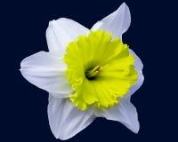 Gele narcis op Blauw Royalty-vrije Stock Foto's