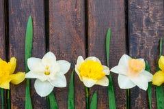 Gele narcis op donkere houten achtergrond Gele en witte narcissen De kaart van de groet De ruimte van het exemplaar Hoogste menin Stock Foto