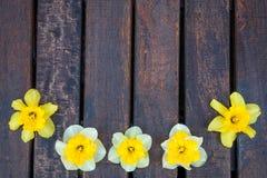 Gele narcis op donkere houten achtergrond Gele en witte narcissen De kaart van de groet De ruimte van het exemplaar Hoogste menin Royalty-vrije Stock Foto