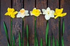 Gele narcis op donkere houten achtergrond Gele en witte narcissen De kaart van de groet Hoogste mening rr Stock Fotografie