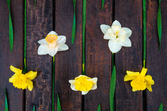 Gele narcis op donkere houten achtergrond Gele en witte narcissen De kaart van de groet Hoogste mening rr Stock Foto