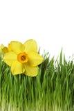 Gele narcis op groen gras Stock Afbeeldingen