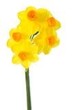 Gele narcis op Wit Stock Foto's