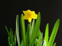 Gele narcis op Zwarte Royalty-vrije Stock Afbeeldingen