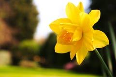 Gele narcis in tuin Stock Foto's