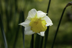 Gele narcis wildflower in de lente Stock Foto's