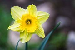 Gele gele narcisbloei in tuin Narcissus Pseudonarcissus stock foto