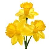 Gele narcisbloem Royalty-vrije Stock Afbeeldingen