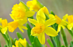 Gele narcisbloem Stock Afbeelding