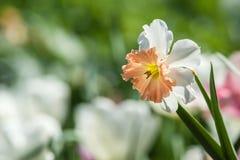 Gele narcisbloem in bloembed Royalty-vrije Stock Fotografie