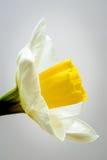 Gele narcisbloem twee dichte omhooggaand van het toon zijaanzicht Royalty-vrije Stock Foto