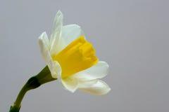 Gele narcisbloem twee dichte omhooggaand van het toon zijaanzicht met exemplaarruimte Stock Afbeeldingen