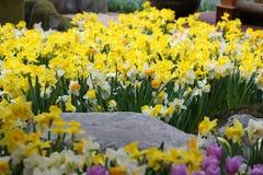 Gele narcisbloemen Stock Afbeeldingen