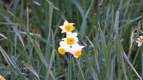 Gele narcisbloemen stock footage
