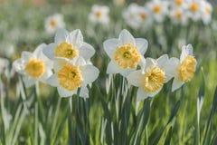 Gele narcisbloemen in de tuin Stock Fotografie