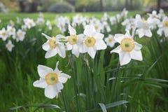 Gele narcisbloemen die in de lente bloeien stock foto