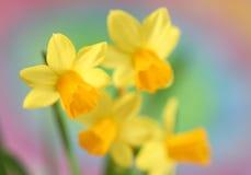 Gele narcissen royalty-vrije stock afbeeldingen